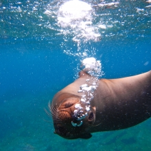 The Mammalian Dive Reflex - some do it better than others!