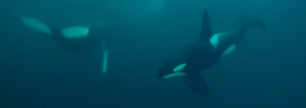 Freediving with killer whales in Norway