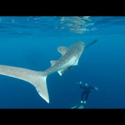 Free diving whale shark